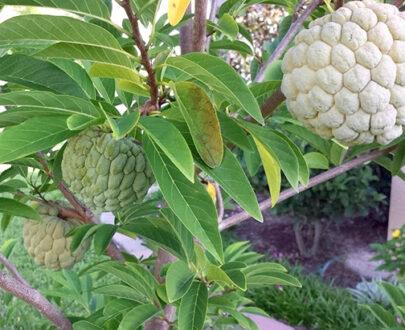indian red custard apple tree seeds 20 seeds